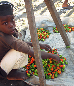 Boy and peppers at market, Limbe, Haiti